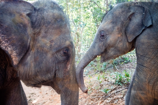 Elephants play in an elephant camp in northeast Thailand